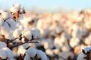 طلای سفید به سیستان وبلوچستان بر می گردد/احیای کشت پنبه فرصتی برای اشتغال و پویایی صنعت نساجی